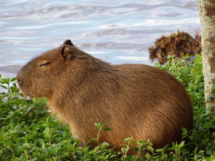 Hai Departe Esteros del Ibera capybara