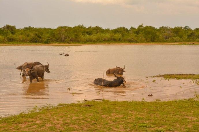 Hai Departe Sri Lanka Udawalawe (15)